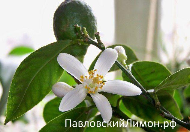 Павловский лимон плод и цвет