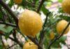 Сорт павловский лимон идевльно подойдет для выращивания в условиях домещения