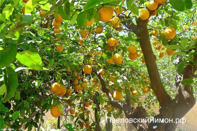 Лимон в южных широтах
