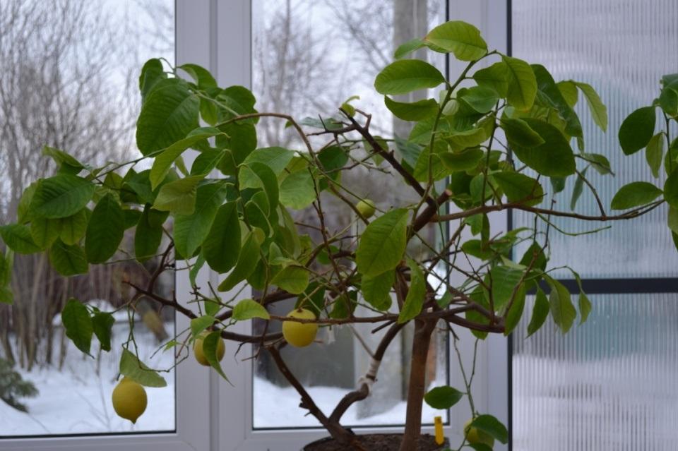 Павловский лимон дерево фото