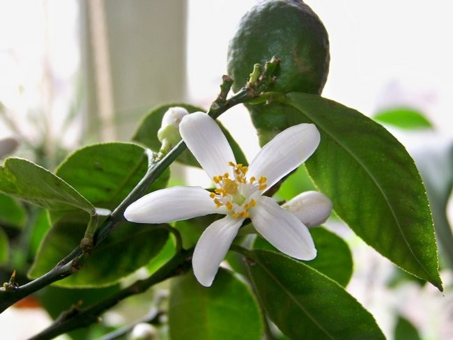 Павловский лимон цветет