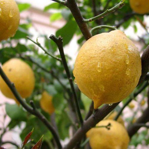 Плоды на лимоне