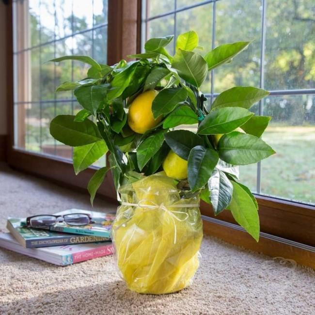 Домашний лимон подарок фото